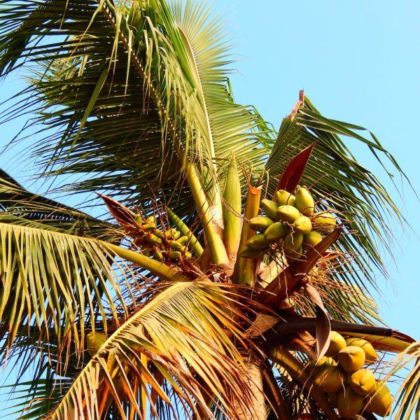 Kokosblüte